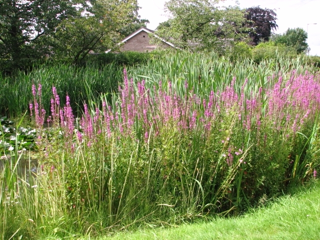 Purple loosestrife  (Lythrum salicaria) and reeds