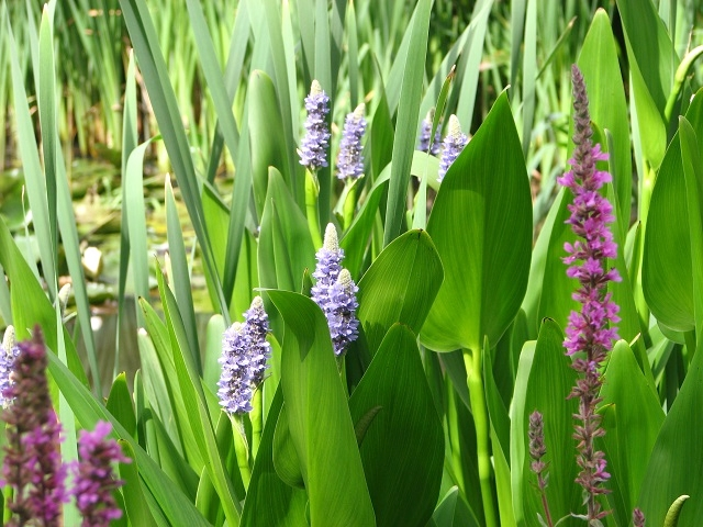 Pickerel weed and Purple loosestrife