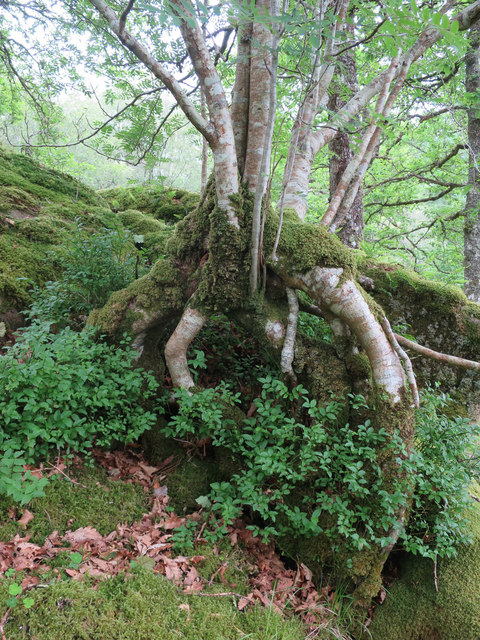 Tree at Strone Hill