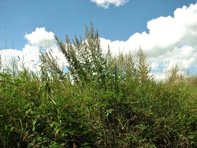 Mugwort growing on a field's edge