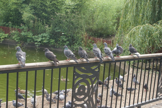 View of a row of pigeons on the railings by the lake in Greenwich Park