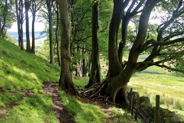 Beech woods on Loudon Hill