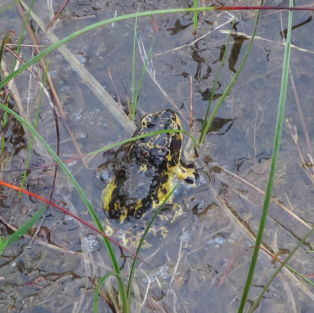 Frog by Crom Allt