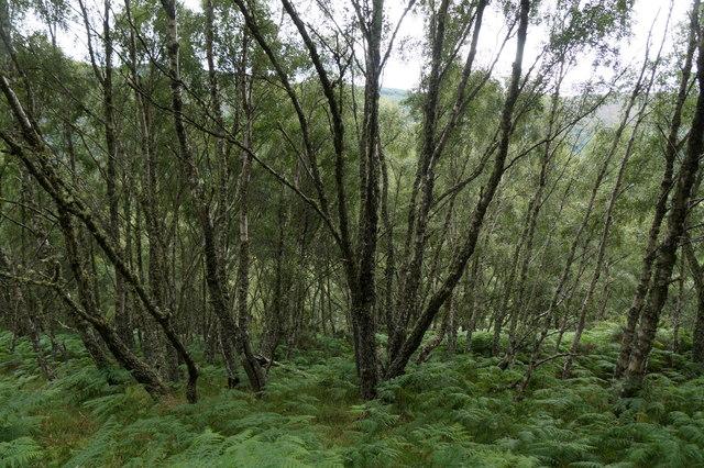 Birch woodland beside Allt na Criche, near Aigas