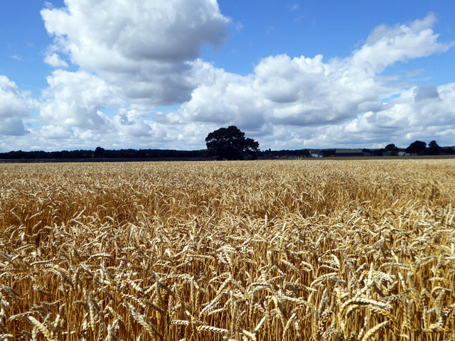 Wheat field, Hawkwell