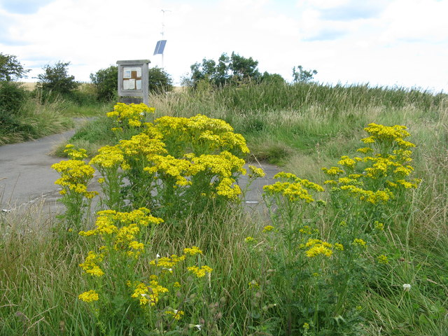 Ragwort near Beal