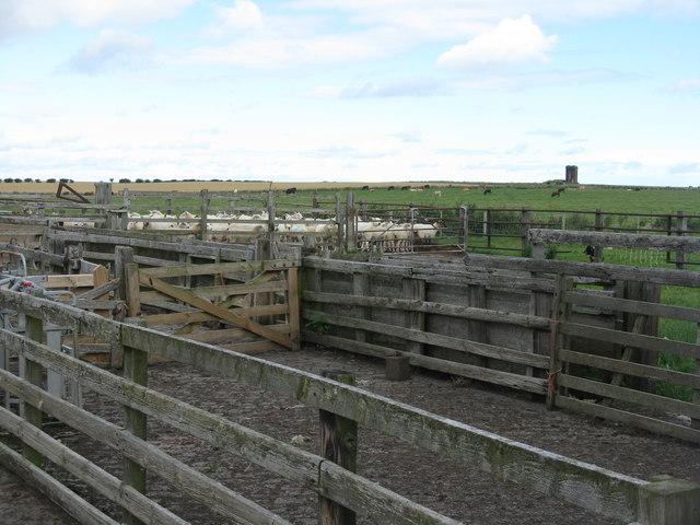 Sheep fold at Elwick