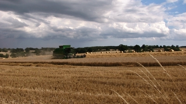 Harvesting the wheat under a threatening sky