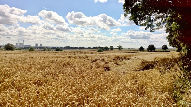 Wind damaged wheat