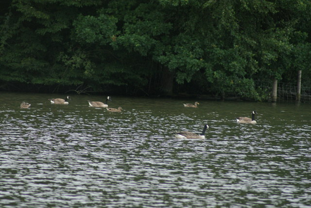 View of geese on the lake at Connaught Water