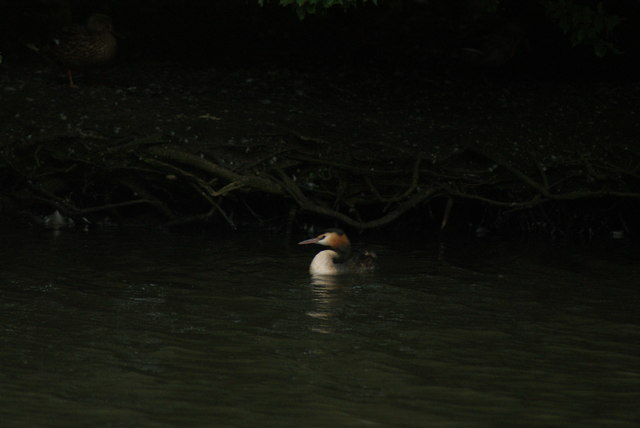 View of a great crested grebe on the lake at Connaught Water