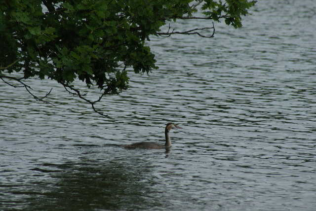 View of a great crested grebe on the lake at Connaught Water #2