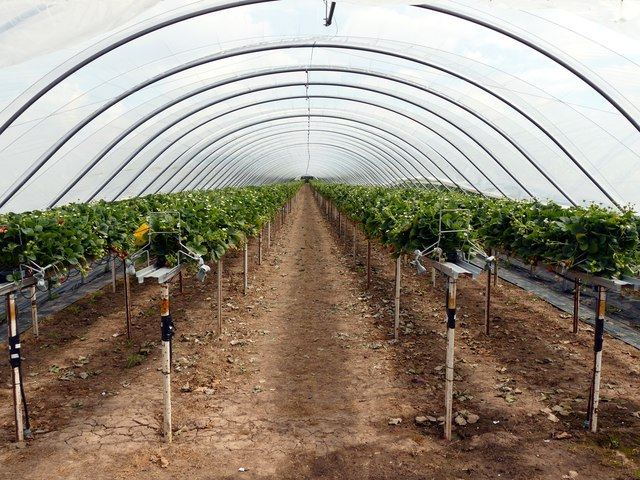 Polytunnel of strawberries