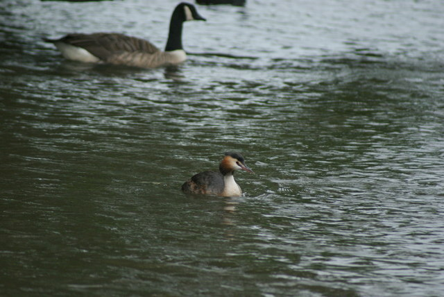 View of a great crested grebe on the lake at Connaught Water #3