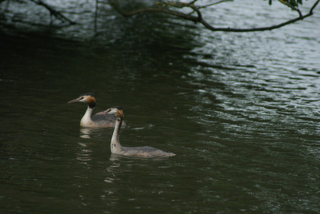 View of a great crested grebe on the lake at Connaught Water #4