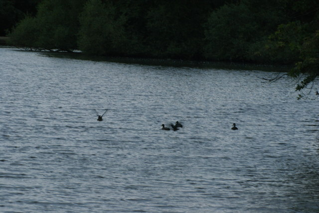 View of a duck taking flight off the lake at Connaught Water #2