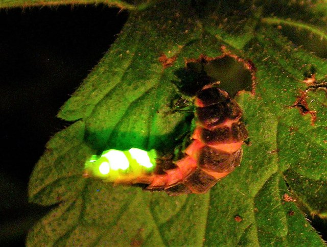 A glow worm glowing at the side of Churchland Lane