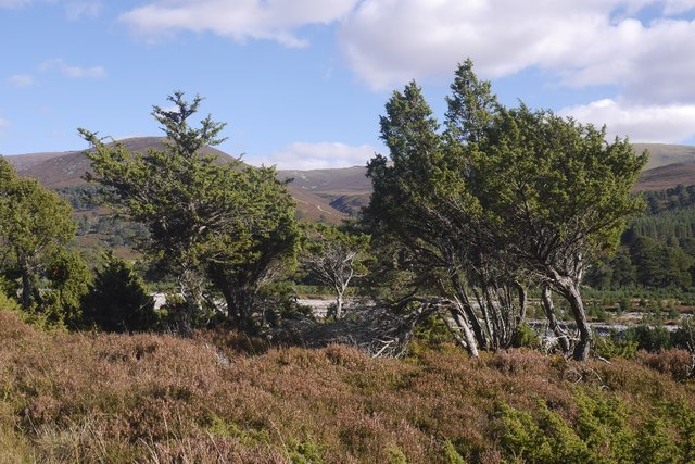 Junipers, Glen Feshie