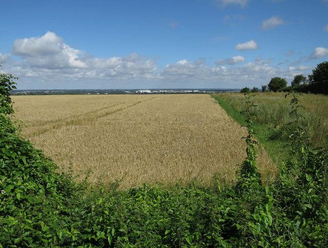 Barley on Gog Magog Hills