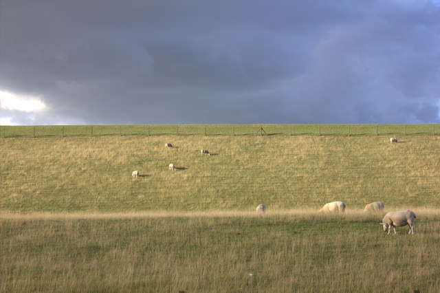 Sheep grazing on the Queen Mother reservoir banks