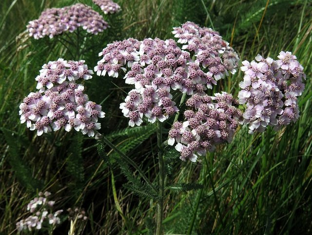 Yarrow (Achillea millefolium) by Blind Burn