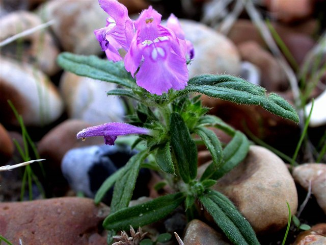 Red hemp-nettle on shingle at Rye Harbour Nature Reserve
