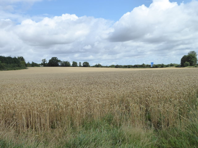 Field of wheat at Ratley Green