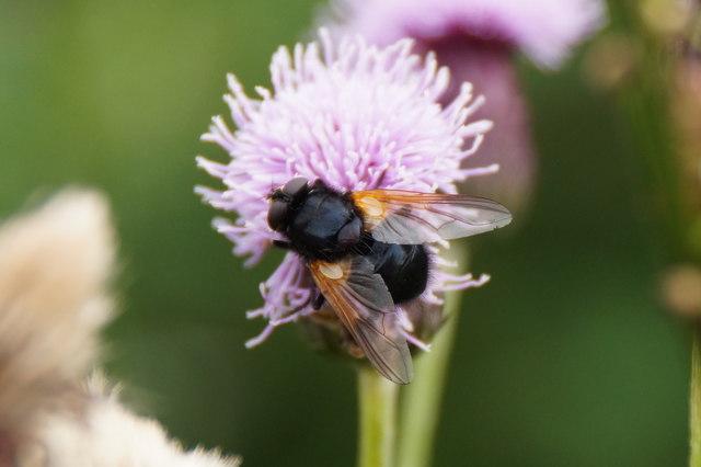 The fly Mesembrina meridiana, Aigas