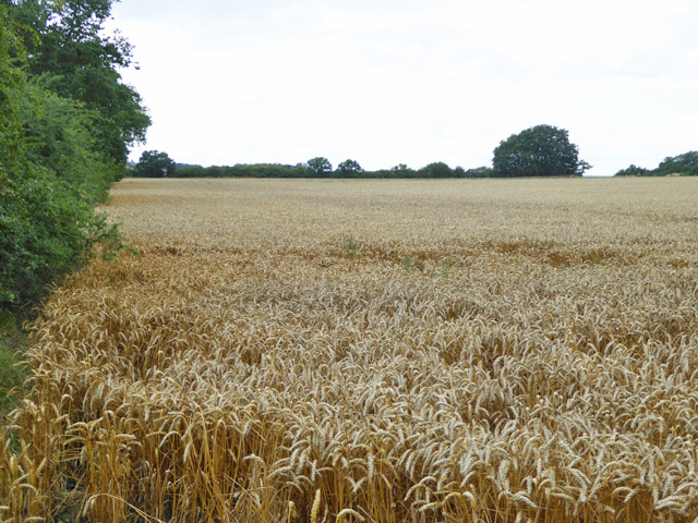 Wheat field north of Apton Hall