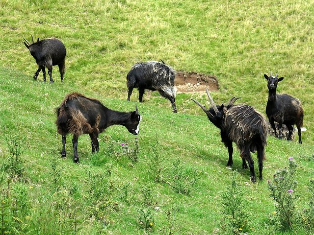 Wild goats at Yearning Hall