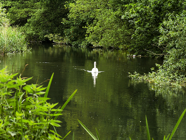 Swan on the River Itchen near Bishopstoke