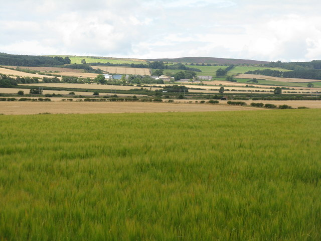 Barley at Elwick