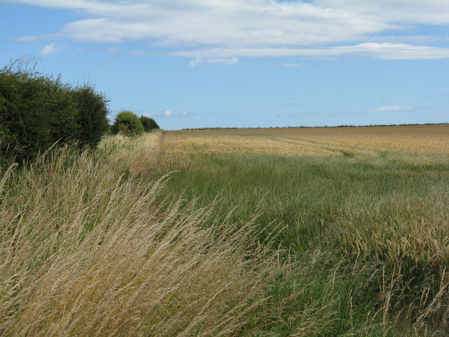 Wheat field at Elwick