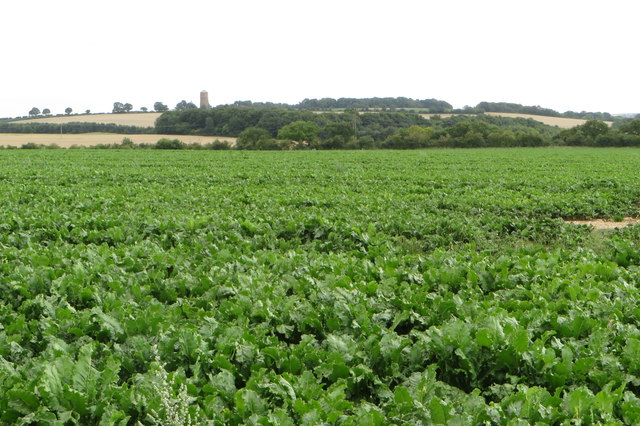 Field of leafy vegetables with a water tower in the distance