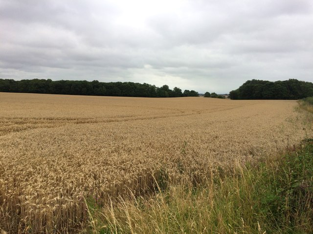 Wheat Field and Langold Holt