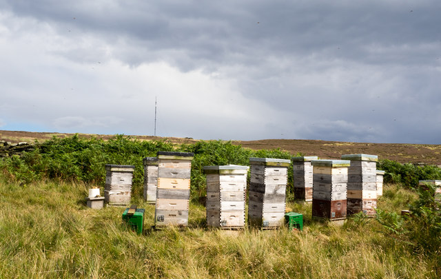 Bee hives on heather moorland