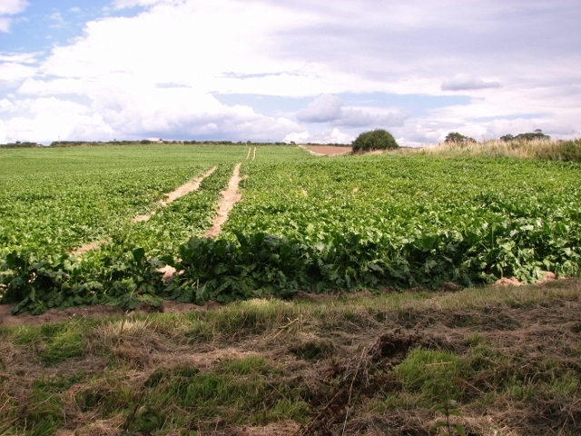 Sugar beet crop field beside the Boudica's Way