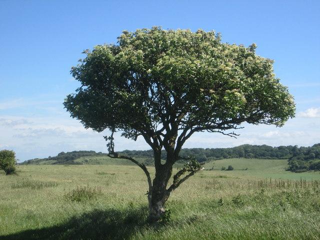 Tree on the Ridgeway between Tring and Ivinghoe