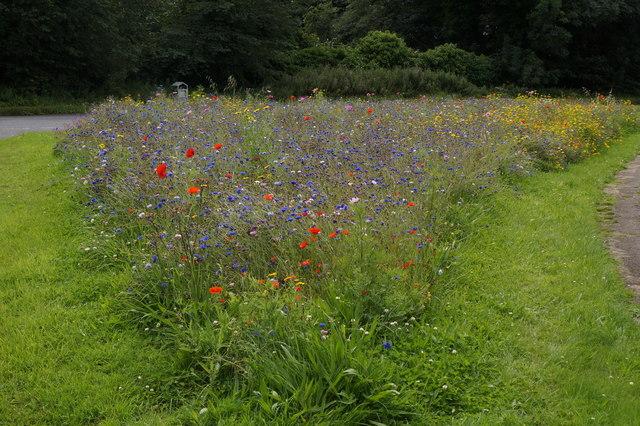 Roadside wildflower mix near Musselburgh Golf Club