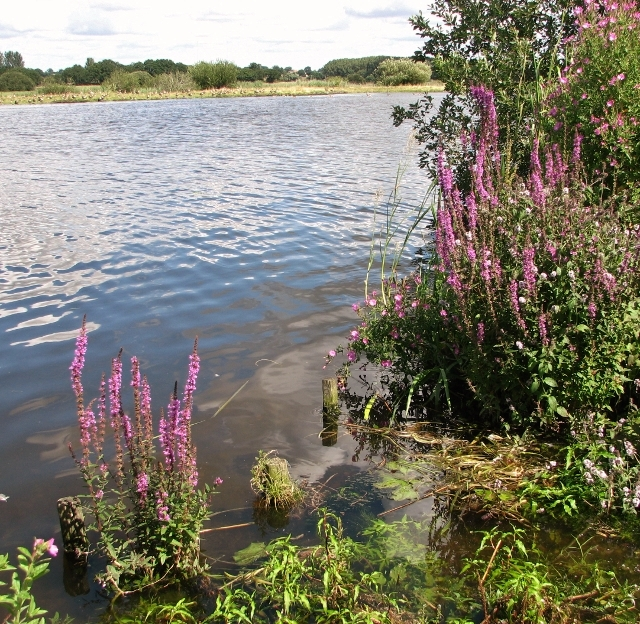 Purple loosestrife by the River Yare