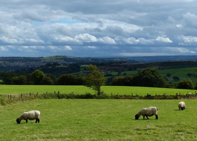 Sheep next to Goose Lane