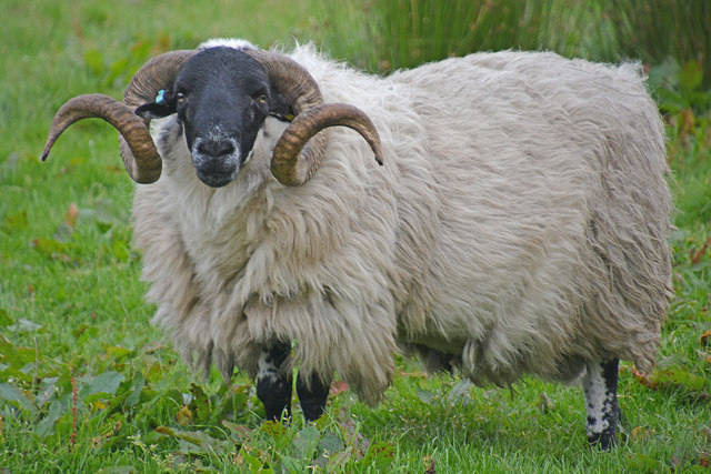 West Devon : Sheep