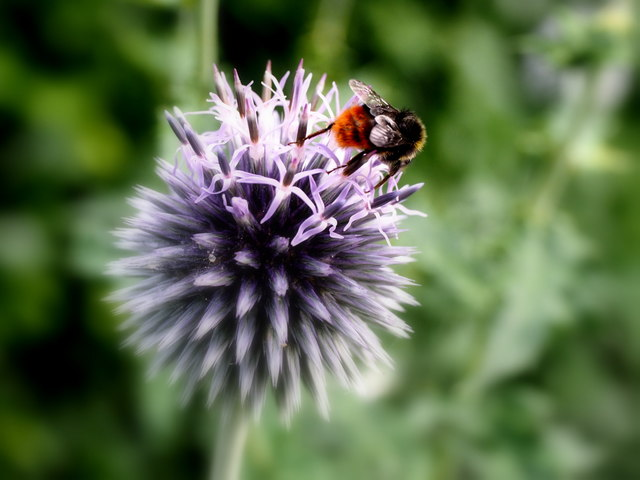 Bee working a Globe Thistle