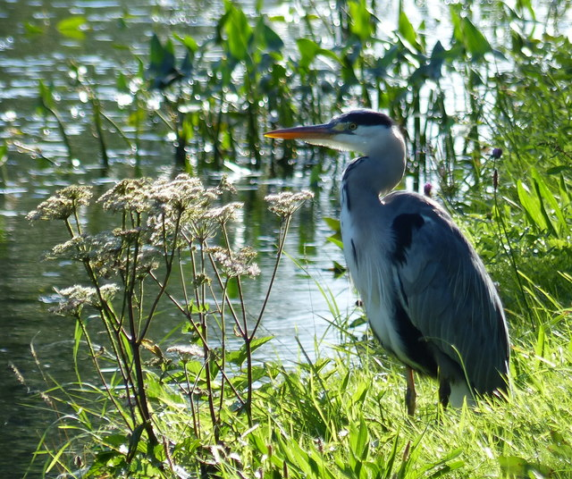 Heron on the Leeds and Liverpool Canal