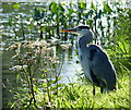 SE1538 : Heron on the Leeds and Liverpool Canal by Mat Fascione