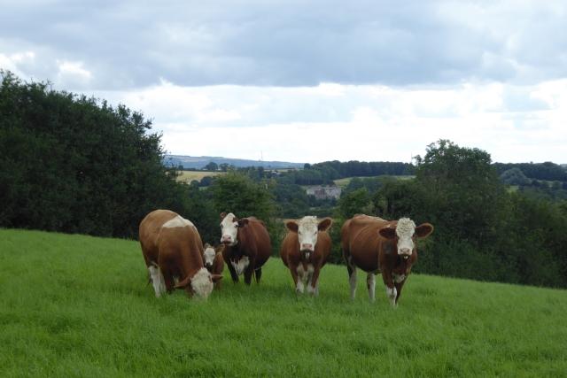 Cattle on Crambe Bank
