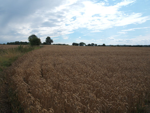 Cereal crop near Blow's Farm