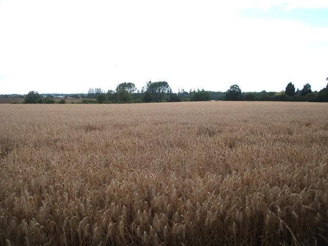 Cereal crop off Cow Watering Lane