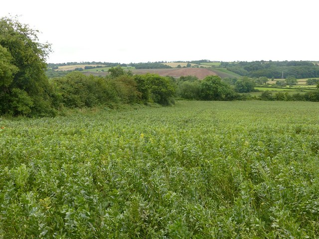 Bean field at Kirk Hallam