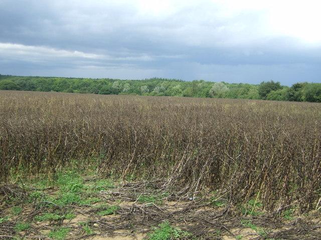 Crop field off Hastingwood Road
